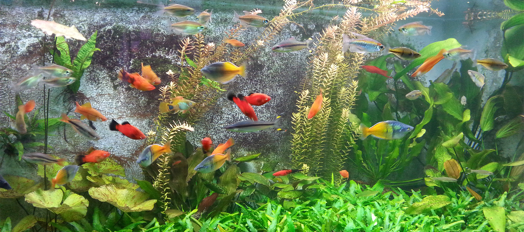 Tropical fish goldfish aquariums redwood aquatics for Fish aquarium garden