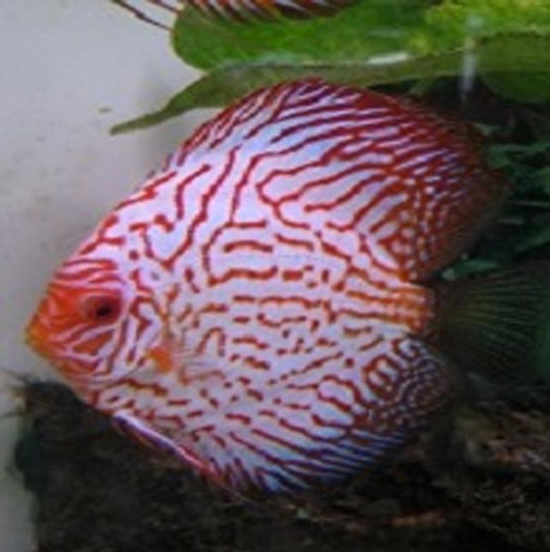 Tropical Fish, Goldfish, Aquariums| Redwood Aquatics
